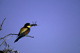 France, The Camargue. African Bee-eater.
